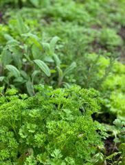 cancer herbs 3 - Herbs